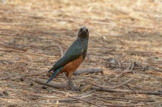 Chestnut-bellied-Starling.jpg