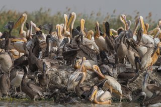 Great-White-Pelican-Colony.jpg