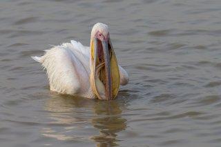 Great-White-Pelican-fish-caught.jpg