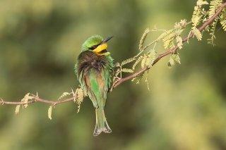Little-Bee-eater.jpg