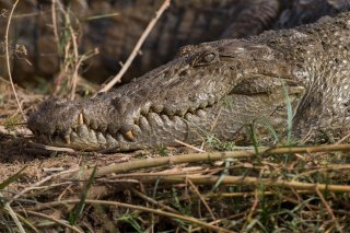 Nile-Crocodile.jpg