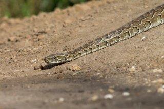 Rock-Python.jpg