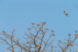 Scissor-tailed-Kite-Roost.jpg
