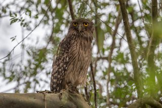 Brown-Fish-Owl.jpg