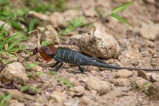 Green-Garden-Lizard.jpg