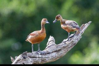 Lesser-Whistling-Duck.jpg