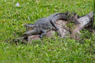 Mugger-Crocodile.jpg