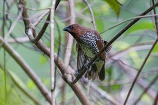 Scaly-breasted-Munia.jpg