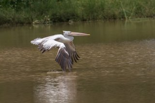 Spot-billed-Pelican.jpg