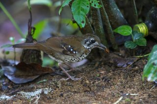 Spot-winged-Thrush.jpg