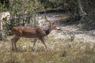 Spotted-Deer.jpg