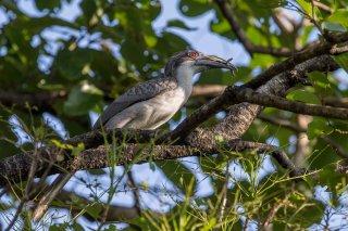 Sri-Lanka-Grey-Hornbill-(f).jpg