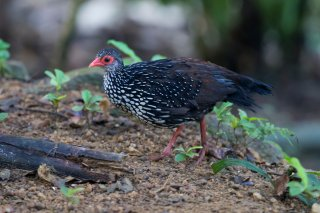 Sri-Lanka-Spurfowl-(m).jpg