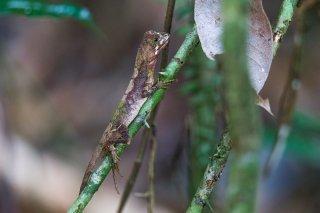 Sri-Lankan-Kangaroo-Lizard.jpg