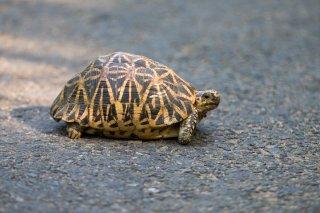 Star-Tortoise.jpg