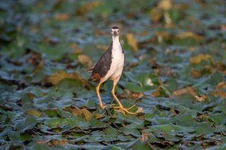 White-breasted-Waterhen.jpg