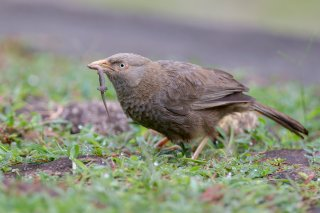 Yellow-billed-Babbler.jpg