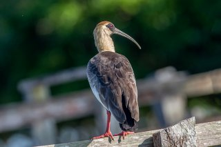 Buf-necked-Ibis.jpg