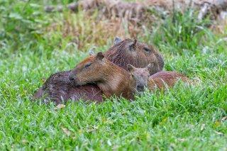 Capybara.jpg