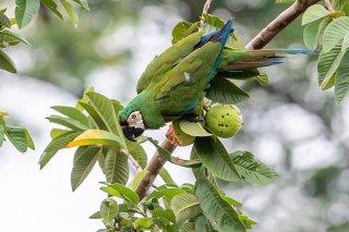 Chestnut-fronted-Parakeet.jpg