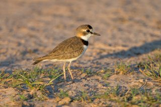 Collared-Plover.jpg