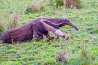 Giant-Anteater.jpg