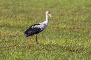 Maguarie-Stork.jpg