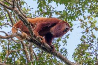 Red-Howler-Monkey.jpg