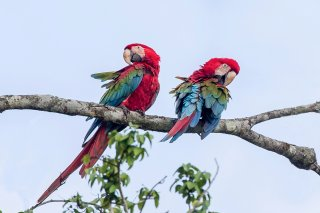 Red-and-Green-Macaw.jpg