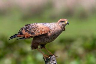 Savanna-Hawk.jpg