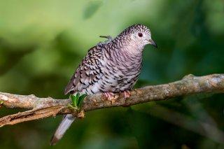 Scaled-Dove.jpg