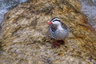 Torrent-Duck.jpg