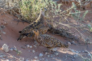 Burchells-Sandgrouse.jpg