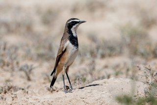 Capped-Wheatear.jpg