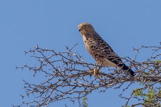 Greater-Kestrel.jpg