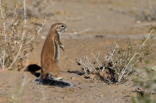 Ground-Squirrel.jpg