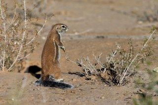 Ground-Squirrel.jpg