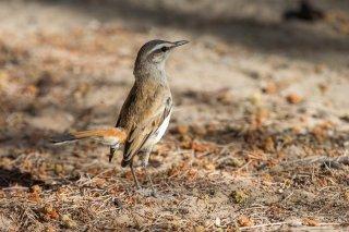 Kalahari-Scrub-Robin.jpg