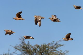 Namaqua-Sandgrouse.jpg