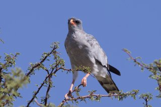 Pale-Chanting-Ghoshawk.jpg