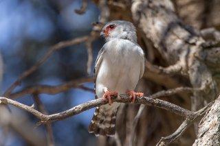 Pygmy-Falcon.jpg