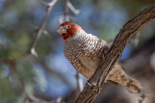 Red-headed-Finch.jpg