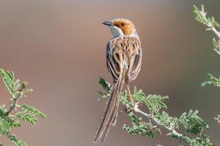 Rufous-eared-Warbler.jpg