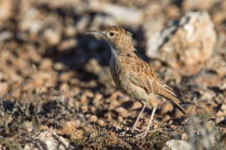 Spike-heeled-Lark.jpg