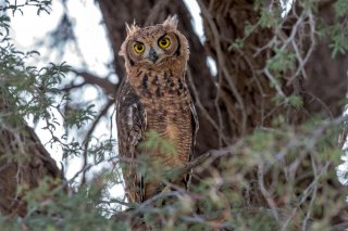 Spotted-Eagle-Owl.jpg