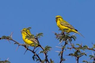 Yellow-Canary.jpg